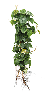 philodendron-ohne-cube